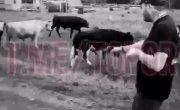 охотимся на коров с пистолетом