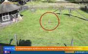 Курицу спасли козел и петух