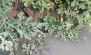 Мужик на арбузном поле нашёл редчайшего живого «крысиного короля»