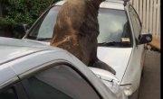 Будни Австралии: ТЮЛЕНЬ Путешественник, на капоте Тойоты, любуется Небосводом. (Часть 2-я)