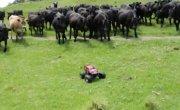 Коровы и маленькая машинка
